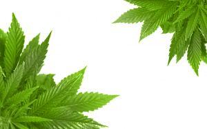 uprawa i hodowla marihuany na świecie